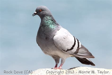 rock pigeon dove