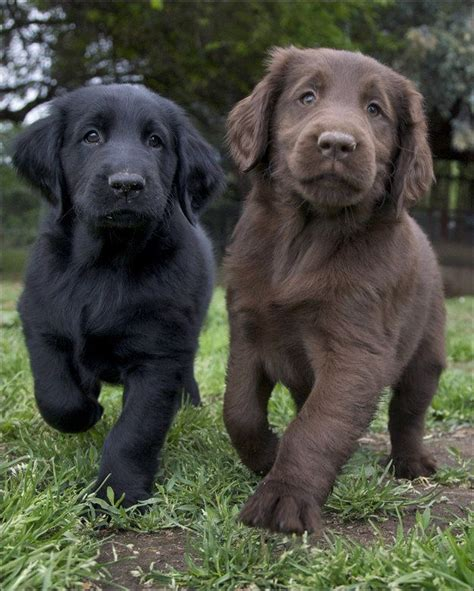 flat coated retriever flat 1503149471 25 best ideas about flat coated retriever on pets beagle puppies and cute baby dogs
