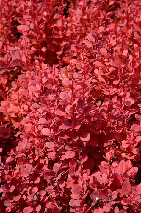 planet color mokena orange rocket japanese barberry berberis thunbergii