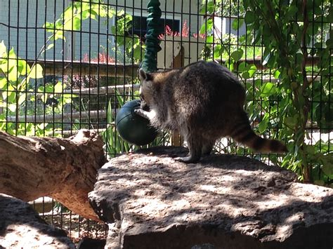 how to attract raccoons in your backyard how to catch a raccoon in my backyard 28 images how to
