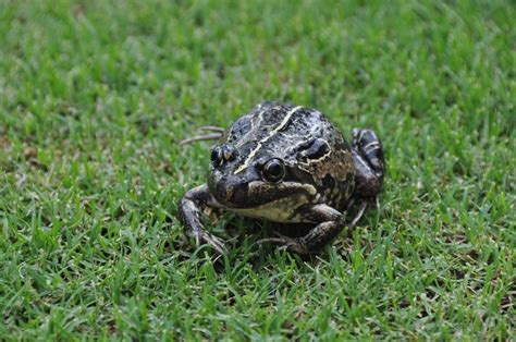 how to catch a toad in your backyard how to find frogs in your backyard 28 images frog