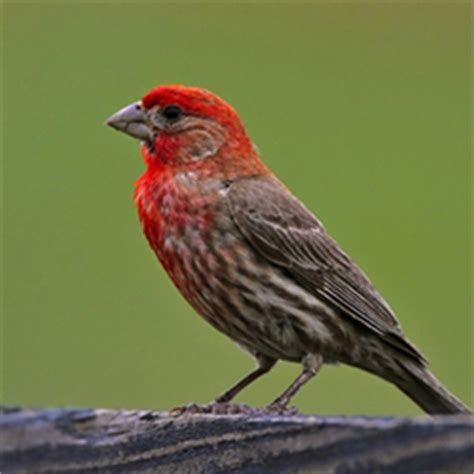 purple finch house finch tennessee watchable wildlife house vs purple finch direct comparison
