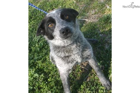 australian cattle adoption blue heelers for adoption search results dunia pictures
