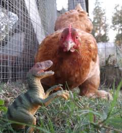 chicken dinosaurs in my backyard my pet chicken blog
