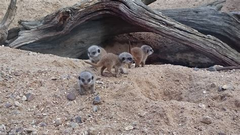 bca zoo day bca welcomes meerkat pups to the family bca