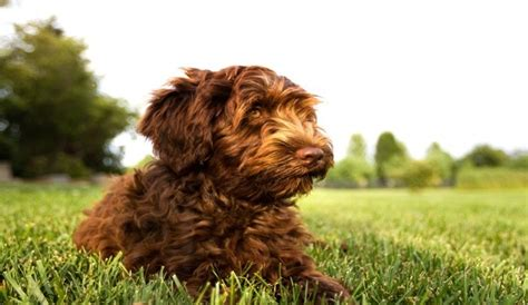 best puppy food for labradoodles fuel for fido the best food for labradoodles herepup