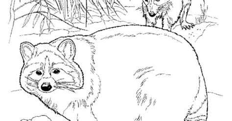 raccoon coloring page fun coloring pages  kids