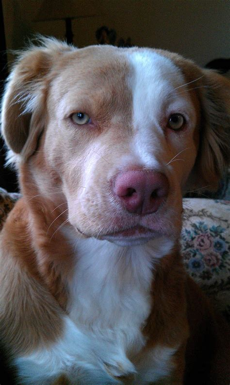 pretty golden retriever pitbull golden retriever mix so pretty amazing world of dogs