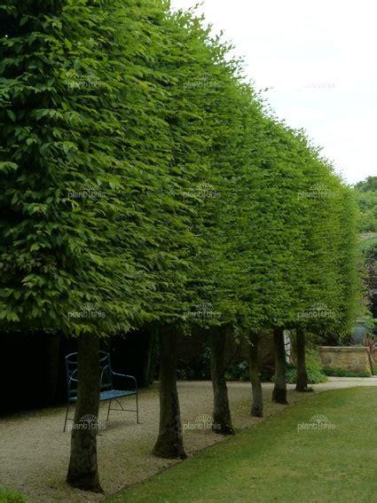 european hornbeam fastigiata gardenoutdoor backyard