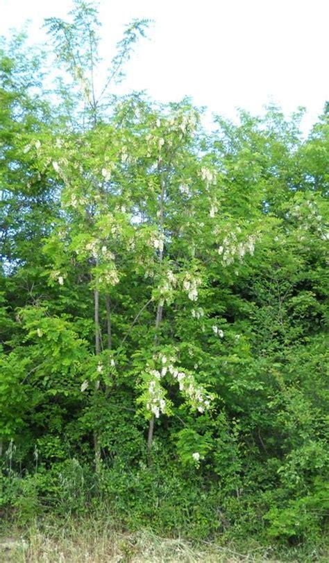 acacia in fiore acacia