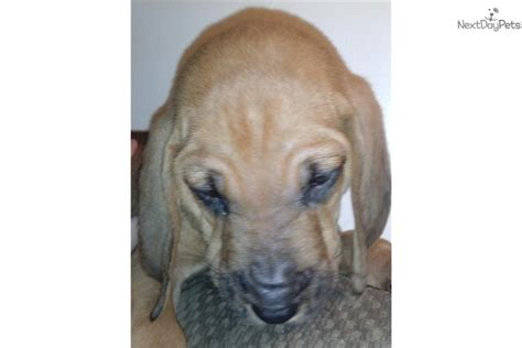 bloodhound puppies near me bloodhound puppy for sale near youngstown ohio 9aa2e9fd 86e1