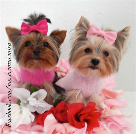 yorkie rate 183 best images about grooming on daycare poodles and pomeranian