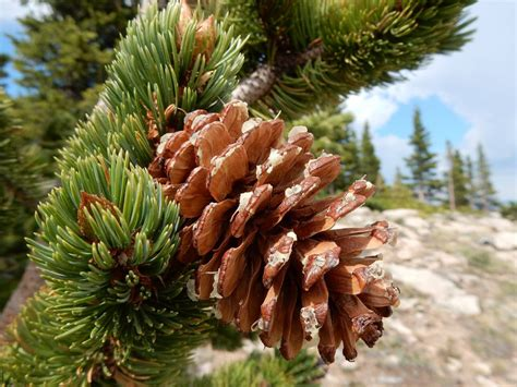 15 pine tree 40 achingly 40 pine trees from around the world