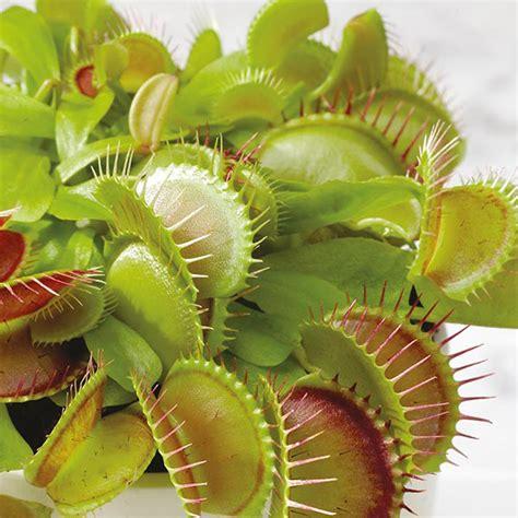 venus fly trap seeds   fothergills seeds  plants