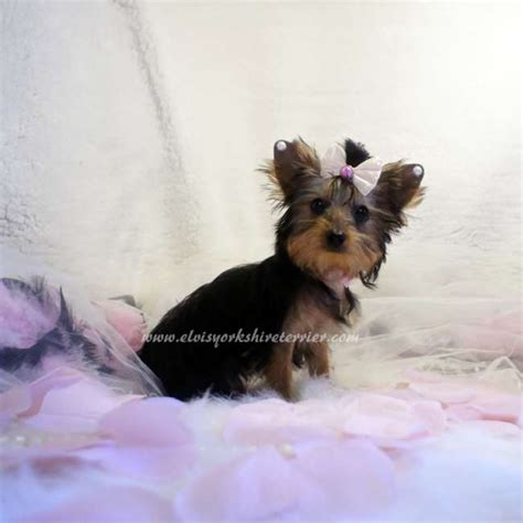 small yorkies teacup yorkie puppies for sale arizona breeds picture