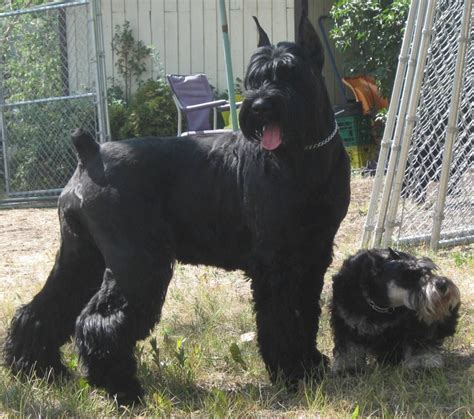 black and silver giant schnauzer puppies black giant schnauzer puppies www pixshark com images