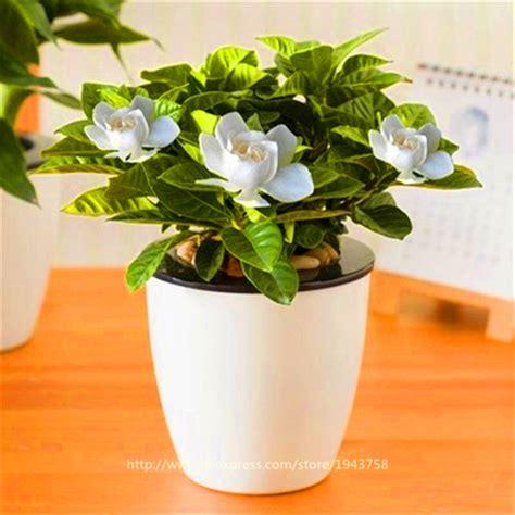 gardenia indoor or outdoor plant buy wholesale gardenia plant from china gardenia