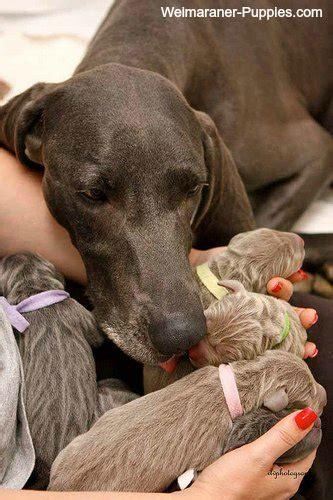how often do dogs come in heat pregnancy symptoms weimaraner puppies