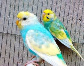 parakeet colors budgies colours and mutations search parakeets