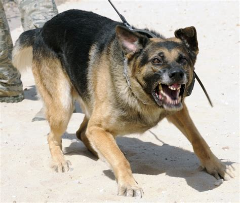 German Finder Attacking German Shepherd Www Pixshark Images Galleries With A Bite