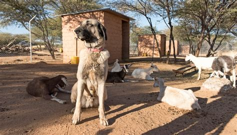 best farm dogs 20 best farm breeds for living in the country