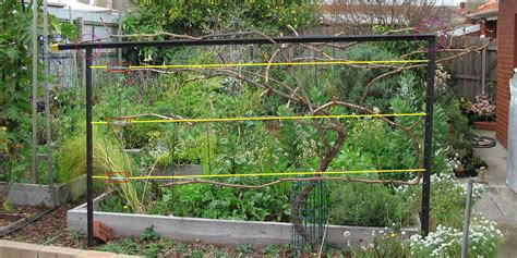 Wire For Grape Trellis grape vine trellis green permaculture
