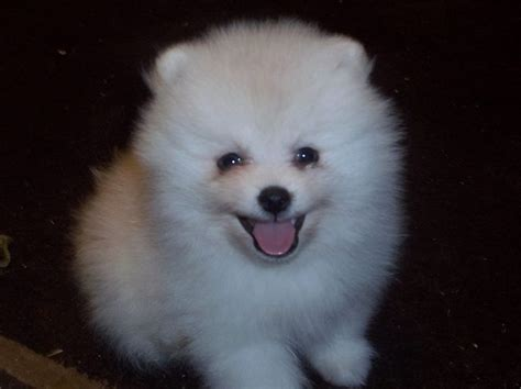 how much are white pomeranian puppies white pomeranian puppies for sale by the bomb poms see our site for more info on