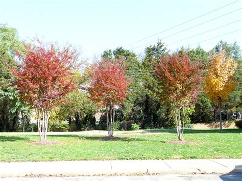 crape myrtle colors portfolio single column mcfall and berry