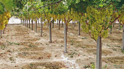 potatura vite uva da tavola irrigazione vigneto di uva da tavola quasi pronto per