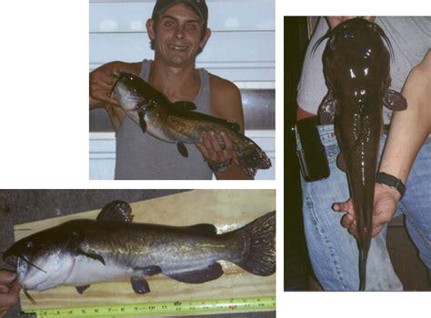 Pa State Records Record Bullhead Catfish Www Pixshark Images