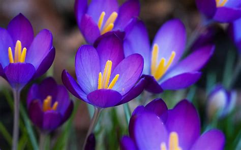 Flower Collection 50 most beautiful crocus flower collection golfian