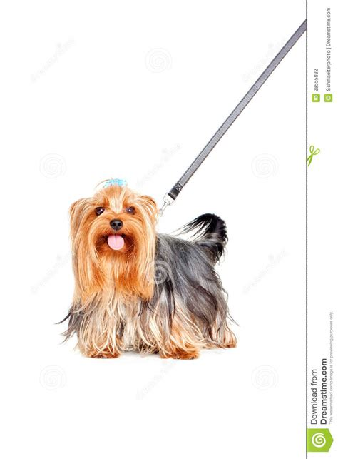 yorkie collars terrier with collar stock photography image 28555882
