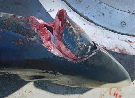 monster crocodile attacks fishing boat killer shark strikes off cornwall coast second attack in