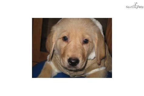 lab and golden retriever mix rescue labrador retriever puppy for adoption near ca45cf09 6c82