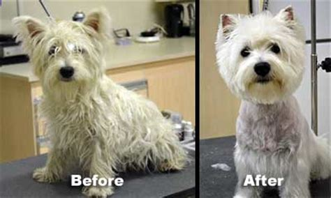 7 pageant worthy schnauzer dog haircuts hairstylec origin of dog show haircuts image gallery westie haircuts