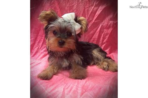 yorkies for sale wichita ks 1000 images about tiny yorkie puppies for sale on yorkie puppies for