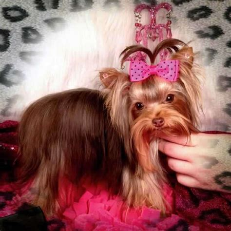 parti yorkies for sale near me teacup chocolate yorkie puppy yorkie yorkie chocolate and yorkie puppy