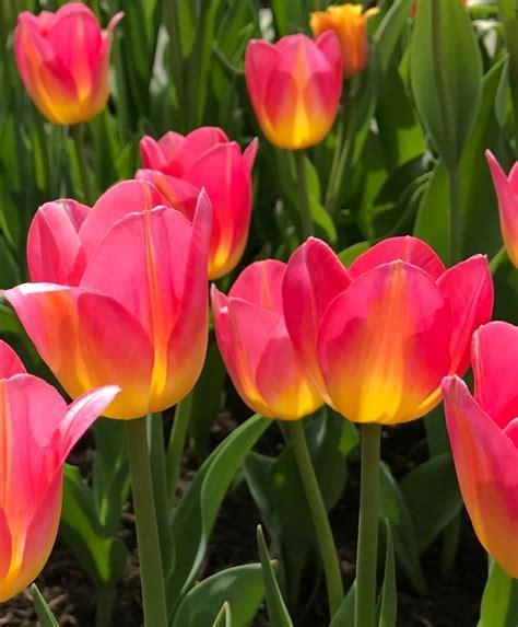 tulip tom pouce van engelen wholesale flower bubs