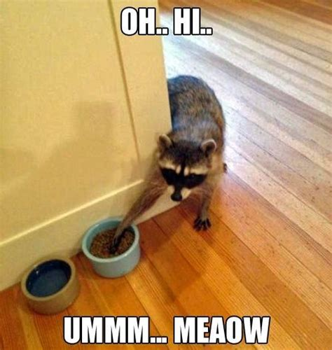 Pet Meme - raccoon cat funny animal meme picture humor opawz