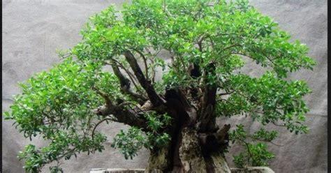 Bakalan Bonsai Sancang bonsai santigi salah satu bonsai terbaik centralbonsai