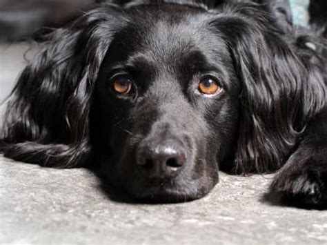 can dogs diabetes blood sugar monitoring and anomalies in the diabetic pets4homes