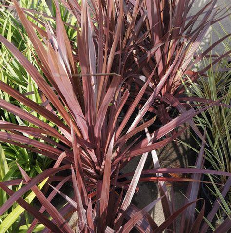 cordyline pocahontas  pot   plants garden