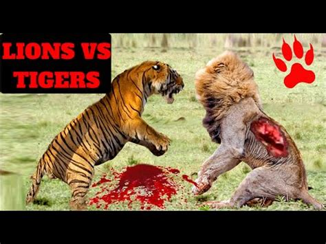 lions  tigers brutal fight compilation youtube