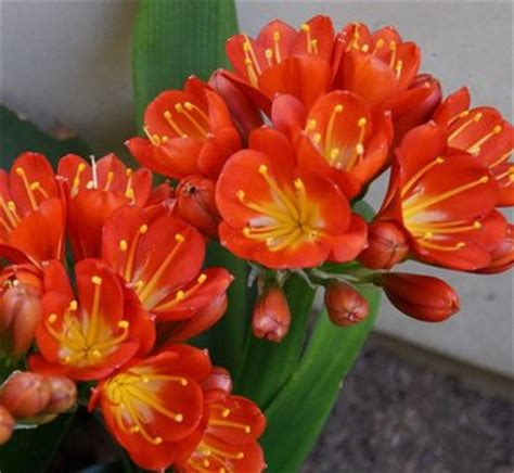 clivea miniata an easy care flowering houseplant hubpages clivia miniata fire lily plant lust