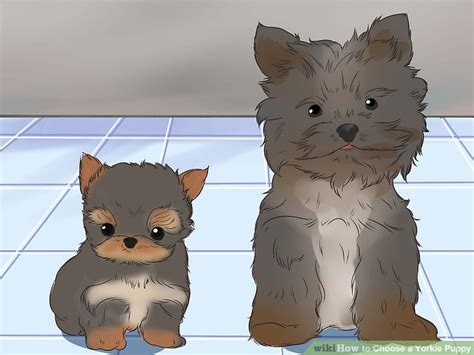 how to a puppy yorkie how to choose a yorkie puppy 14 steps with pictures wikihow