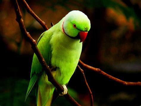 wallpaper green parrot wallpapers hub green parrot
