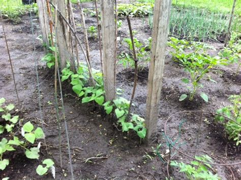 Bush Bean Trellis bush bean trellis garden ideas and inspiration