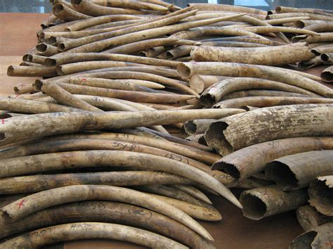 elephant ivory china follows suit with of six tons of
