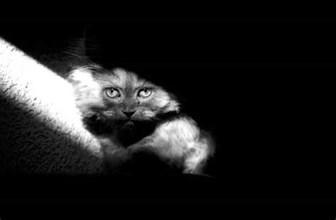 imagenes artisticas de gatos fotografias de gatos en blanco y negro tradicional