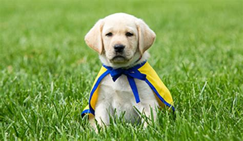 how to raise a puppy you can live with cci org become a volunteer puppy raiser